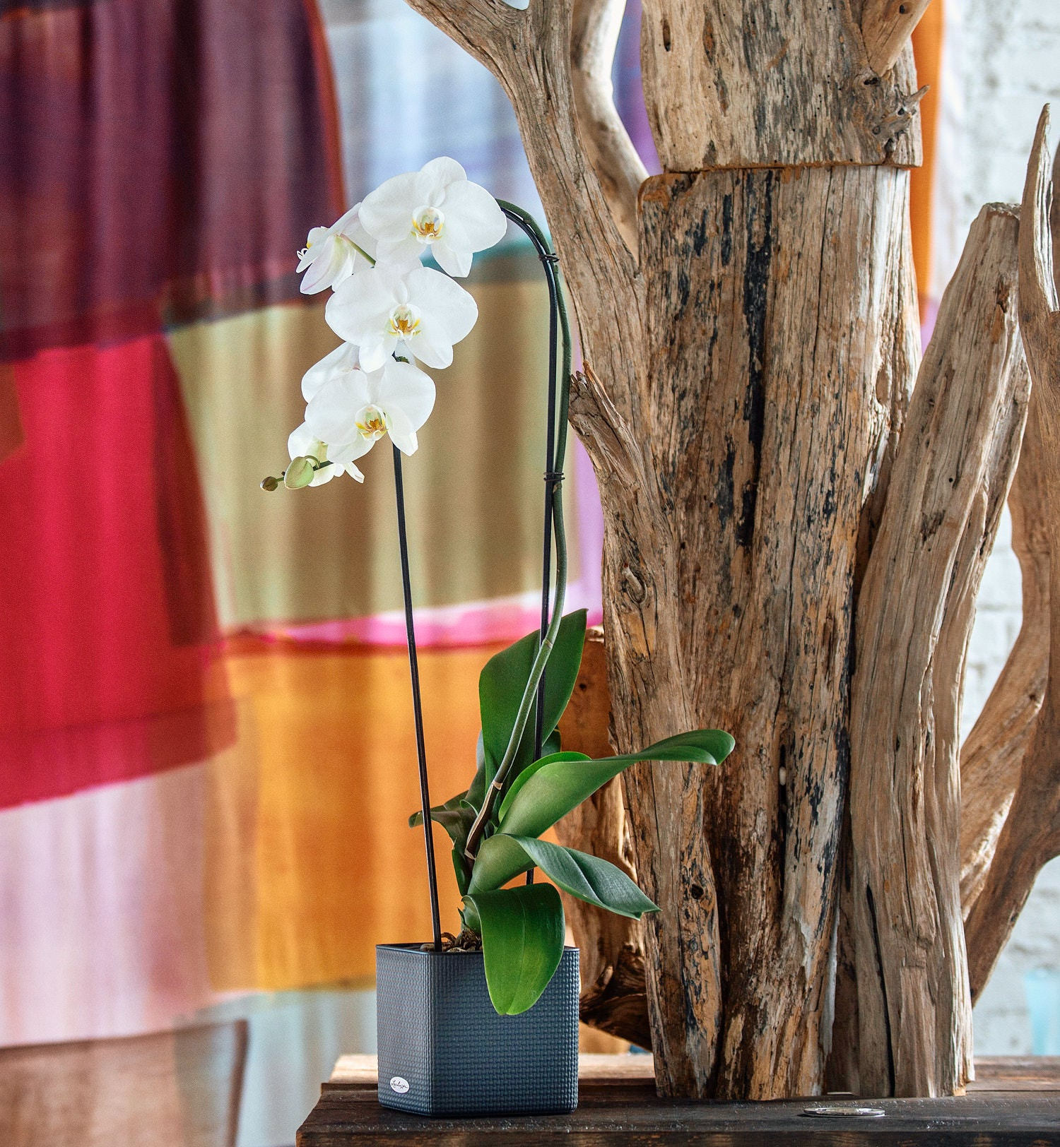 Phalaenopsis Orchid In Lechuza Cube 14 Slate Planter | My City Plants