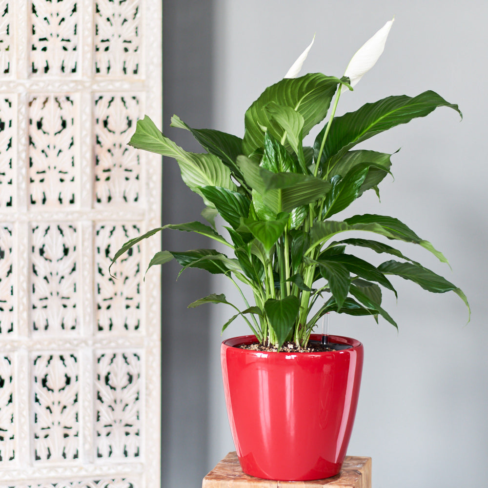 Peace lily potted in lechuza classico 11 planter my city plants peace lily classico 11 izmirmasajfo Choice Image