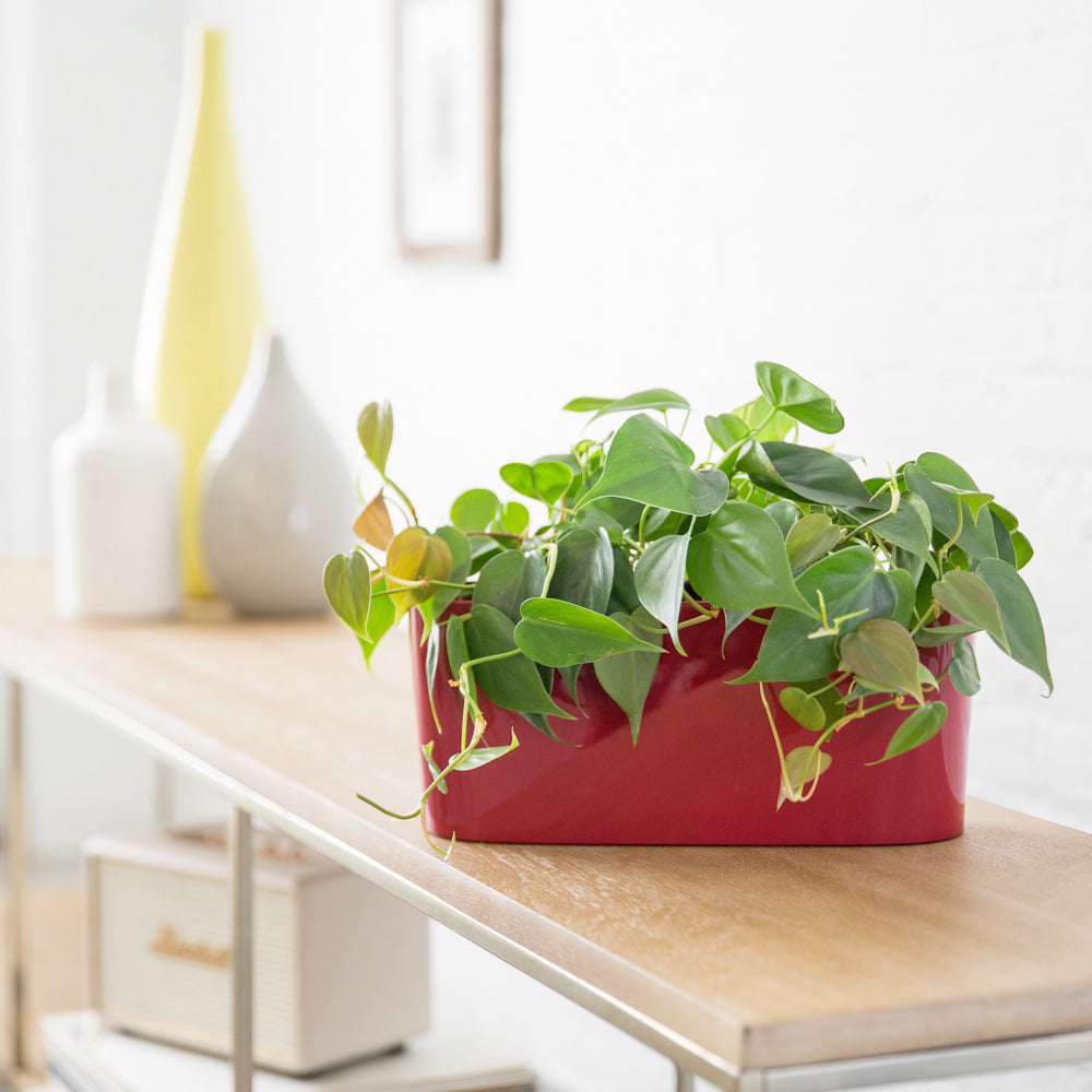 Philodendron In Lechuza Windowsill Mini Red Planter - Shop Online - My City Plants