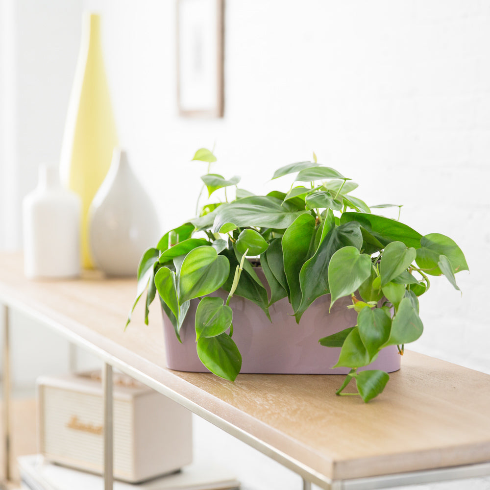 Philodendron In Lechuza Windowsill Mini Violet Planter - Shop Online - My City Plants