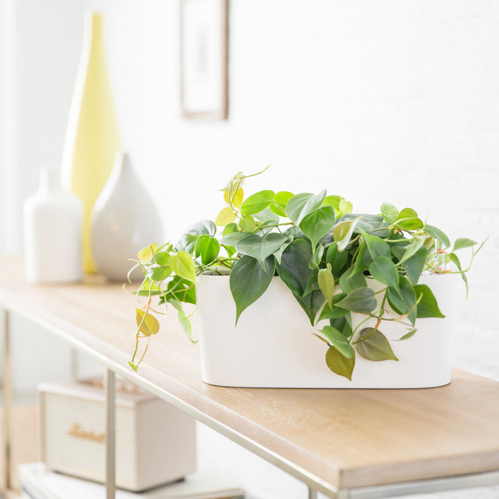 Philodendron In Lechuza Windowsill Mini White Planter - Shop Online - My City Plants