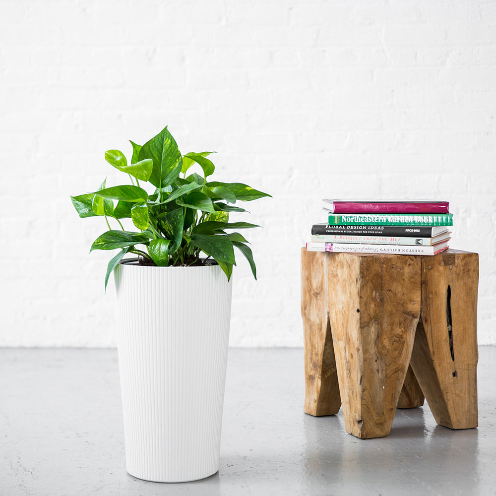 Pothos Plant Potted In Lechuza Cilindro Planter - Shop Online - My City Plants