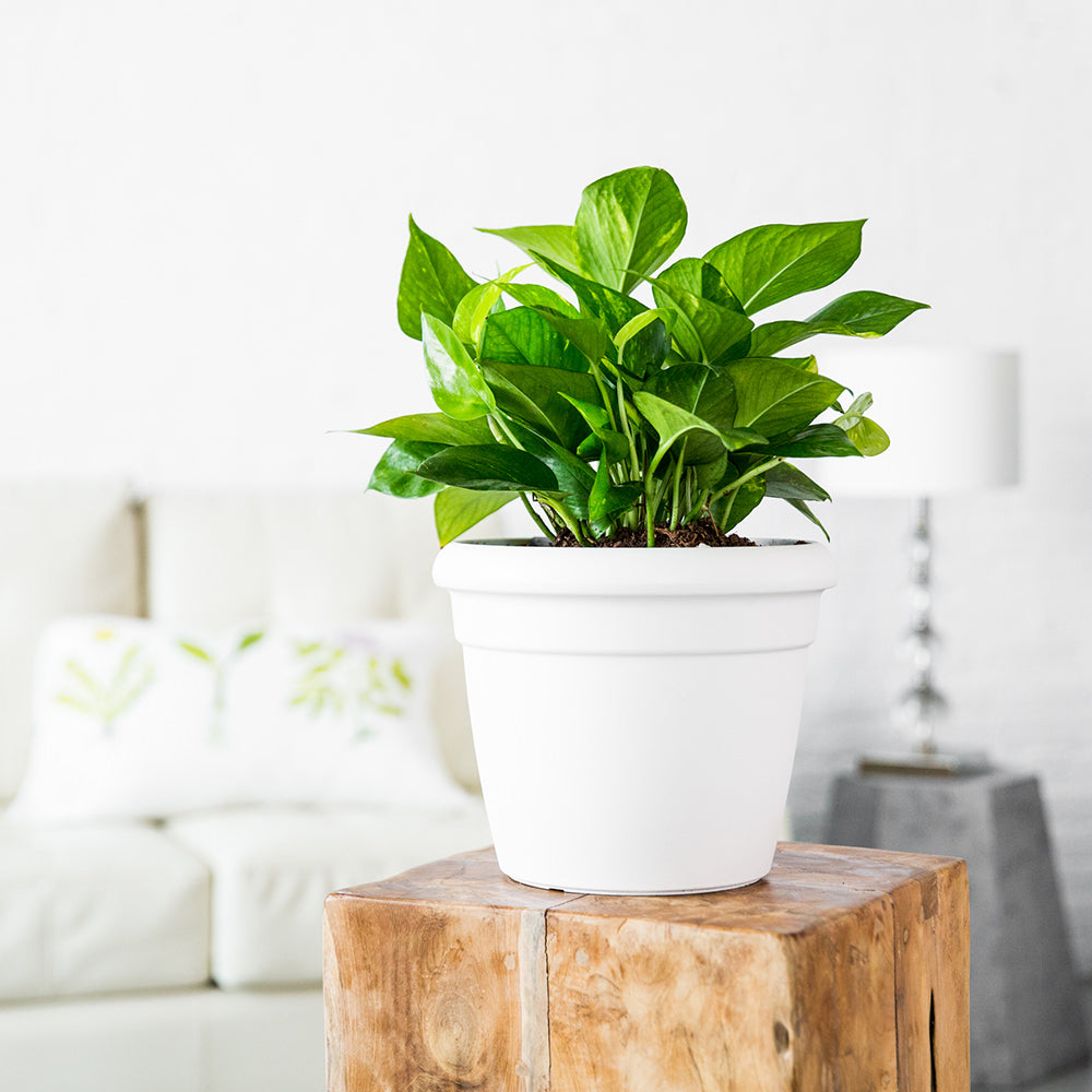 Pothos Plant Potted In Lechuza Rustico Mini White Planter - Shop Online - My City Plants