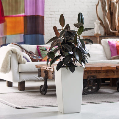 Rubber plant potted in Lechuza Cubico white planter