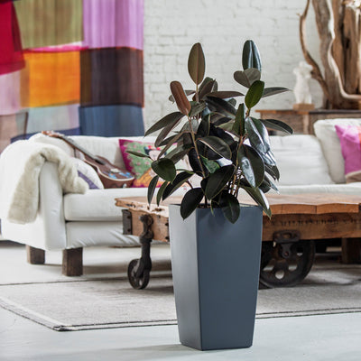 Rubber plant potted in Lechuza Cubico slate planter