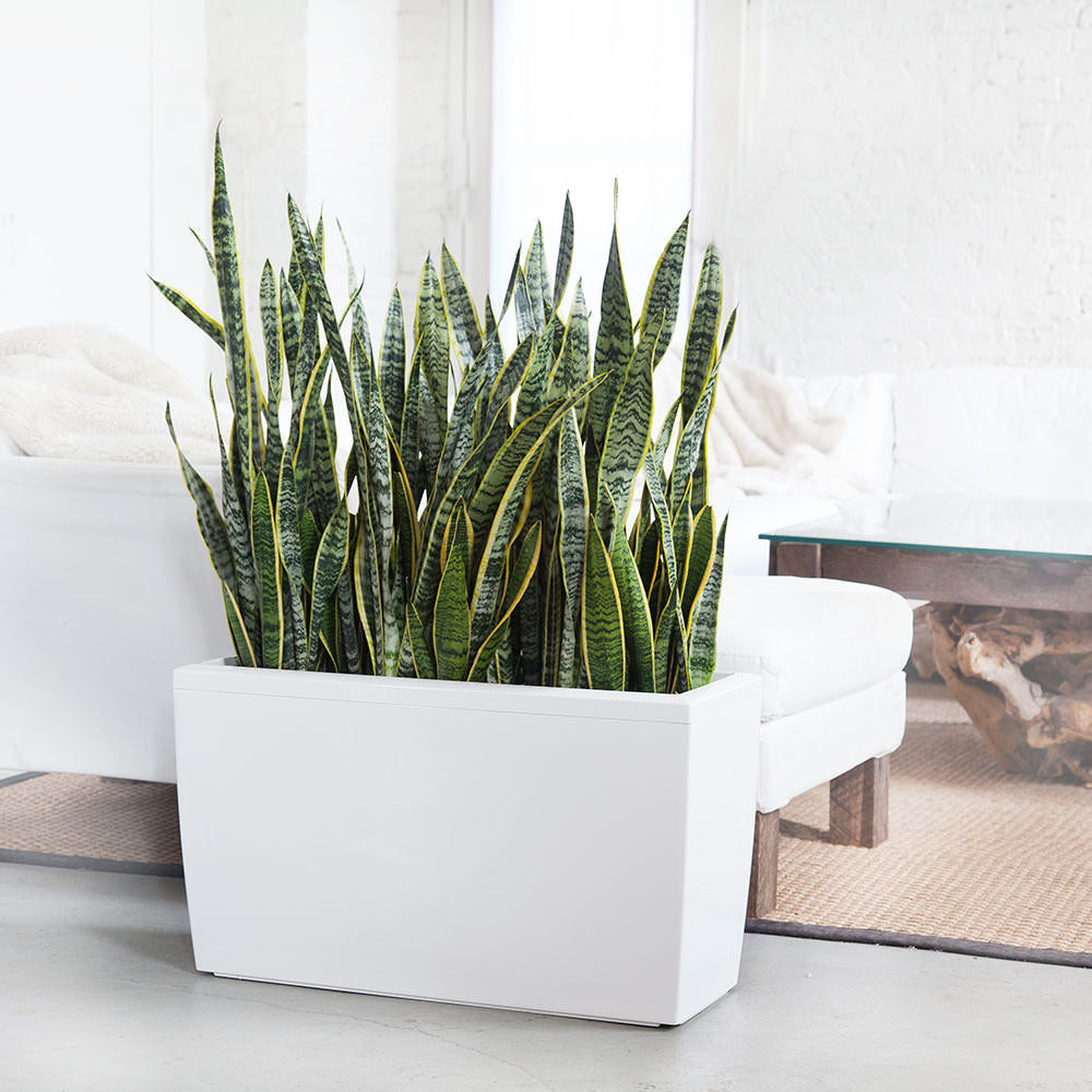 Sansevieria Plant Potted In Cararo White Planter - Shop Online -My City Plants