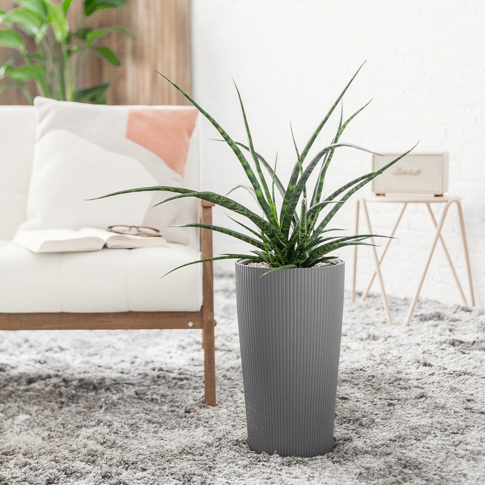 Sansevieria Fernwood Punk Potted In Lechuza Cilindro Slate Planter - Shop Online - My City Plants