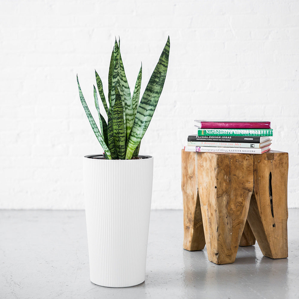 Sansevieria  Plant Potted In Lechuza Cilindro Planter - Shop Online - My City Plants