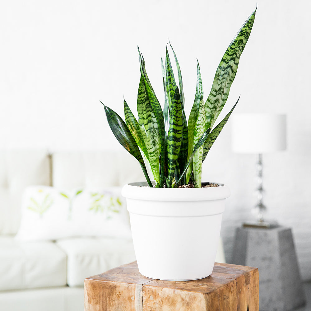 Sansevieria Potted In Lechuza Rustico Mini White Planter - Shop Online - My City Plants