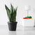 Sansevieria Plant Potted In Rustico Black Color Planter - Shop Online - My City Plants