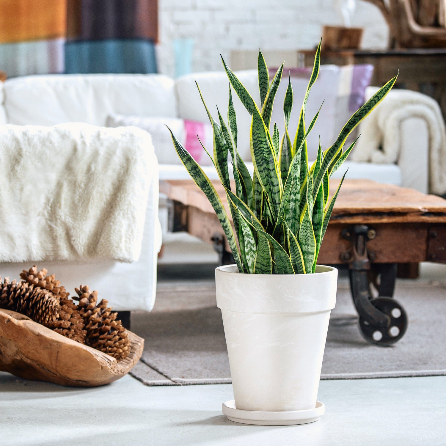 "Sansevieria In 12"" Clay Pot 