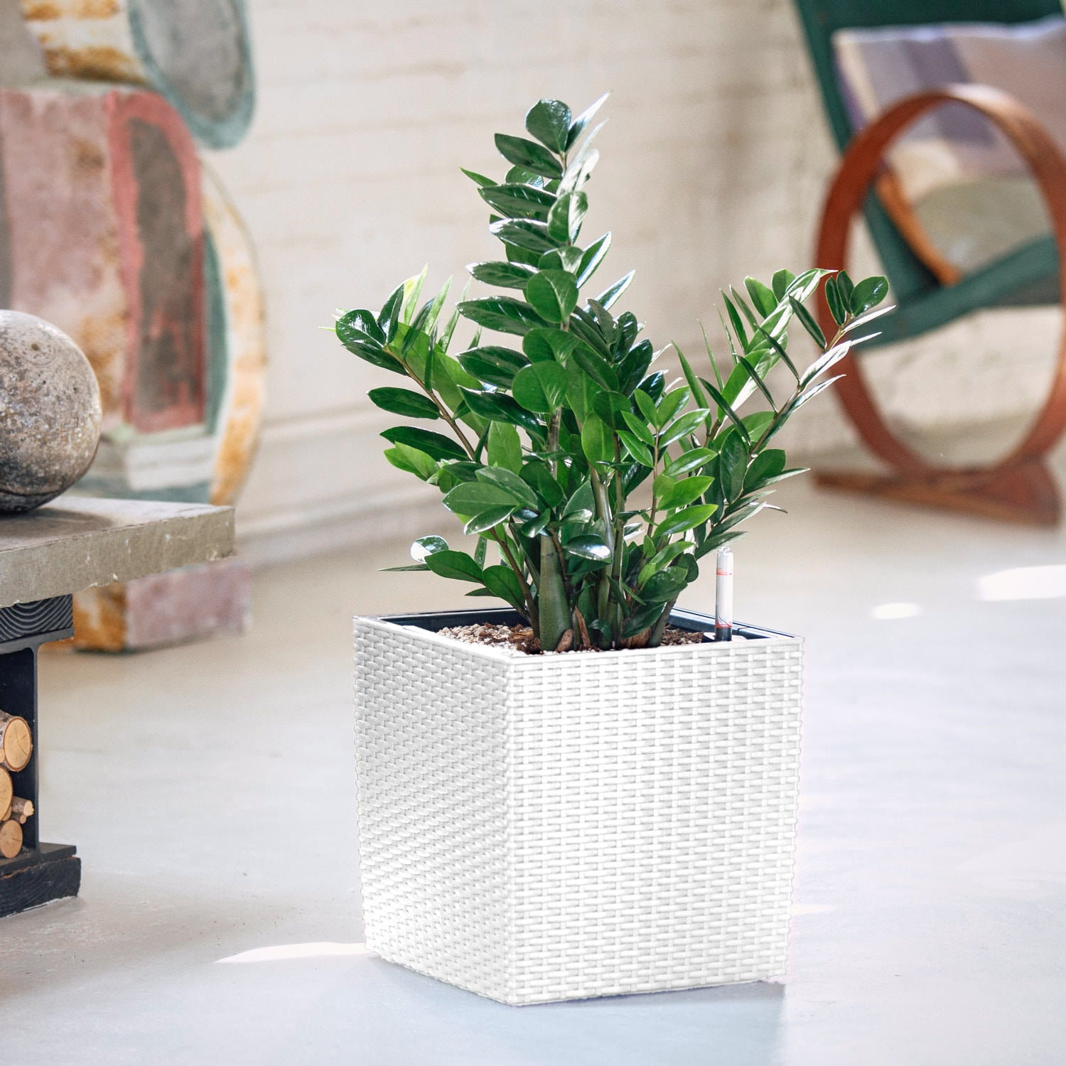 ZZ Plant In Lechuza Cube Cottage White Planter | My City Plants