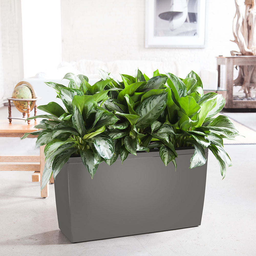Aglaonema A.K.A. Chinese Evergreen Potted In Lechuza Cararo Charcoal Metallic Planter - Shop Online - My City Plants