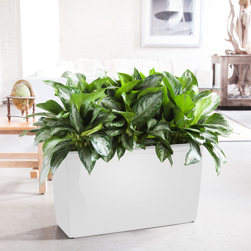 Aglaonema A.K.A. Chinese Evergreen Potted In Lechuza Cararo White Planter - Shop Online - My City Plants