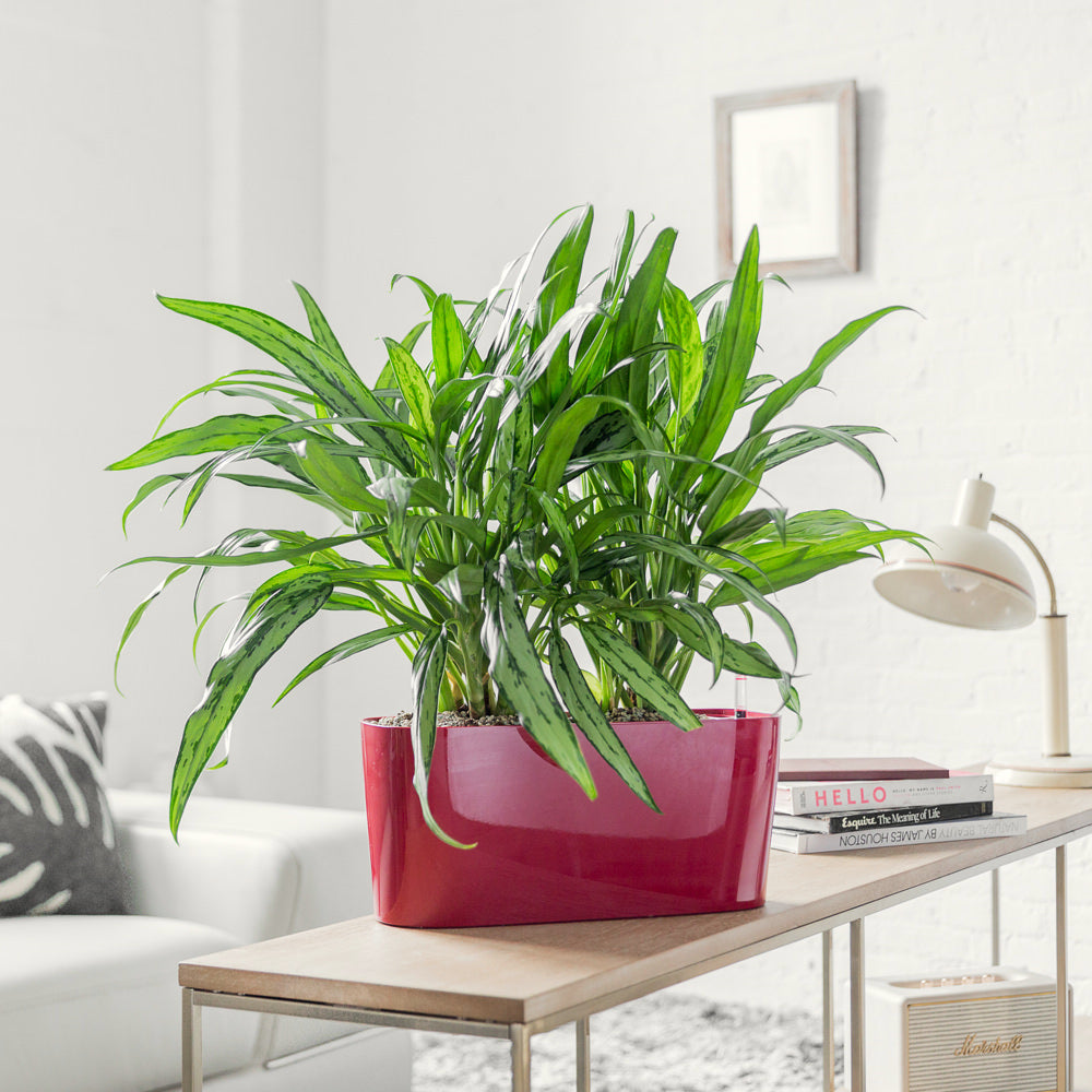 Aglaonema Cutlass Potted In Lechuza Windowsill Red Planter - Shop Online - My City Plants