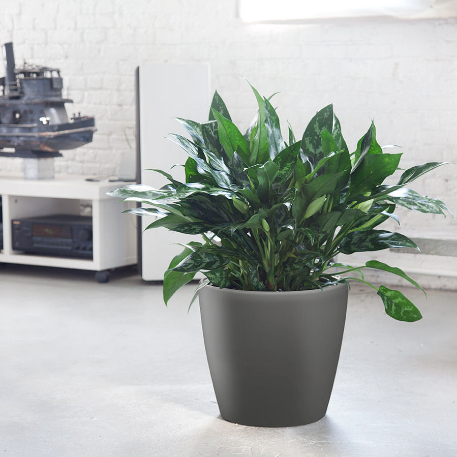 Aglaonema Classico Charcoal Metallic