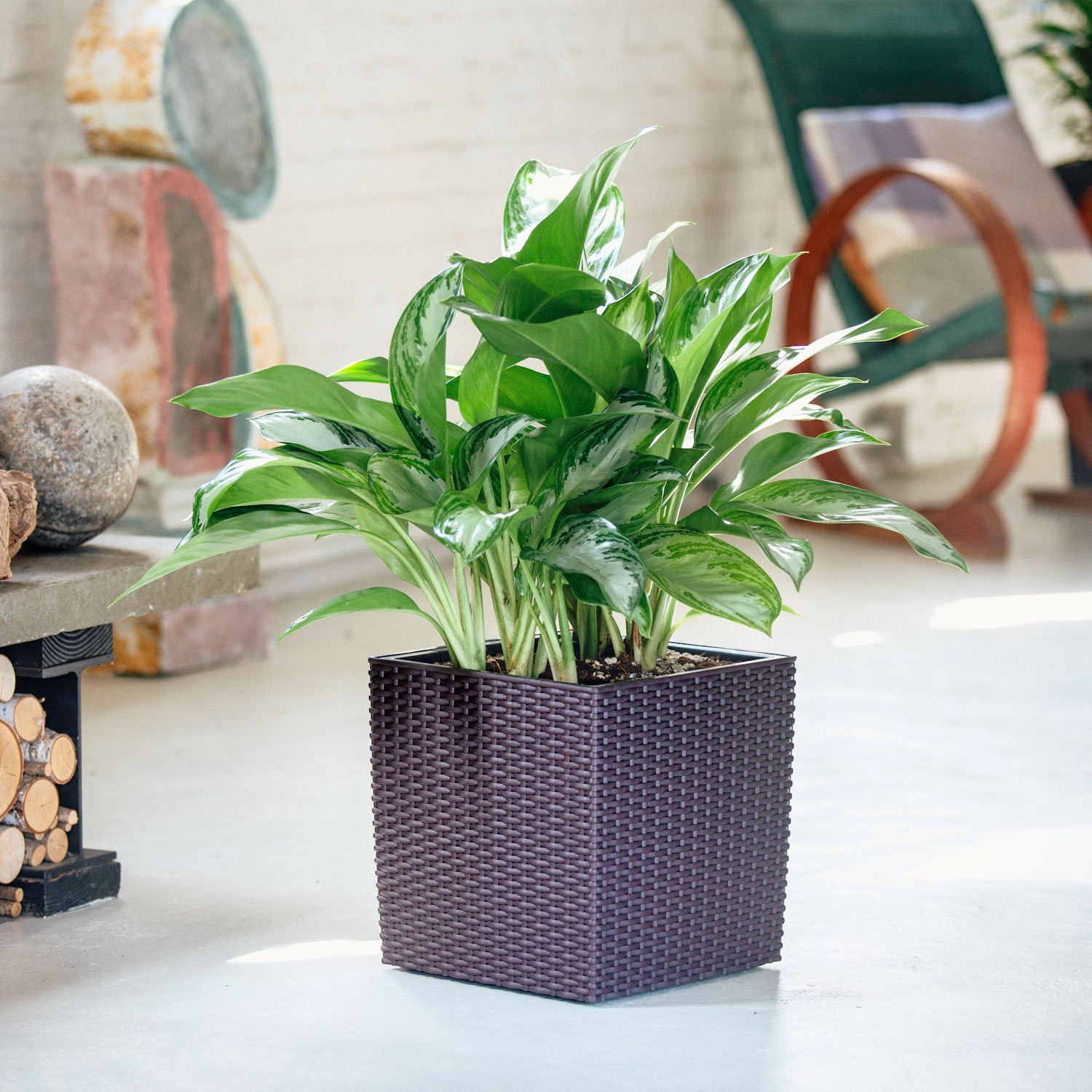 Aglaonema plant potted in Lechuza Cube Cottage mocha planter - My City Plants