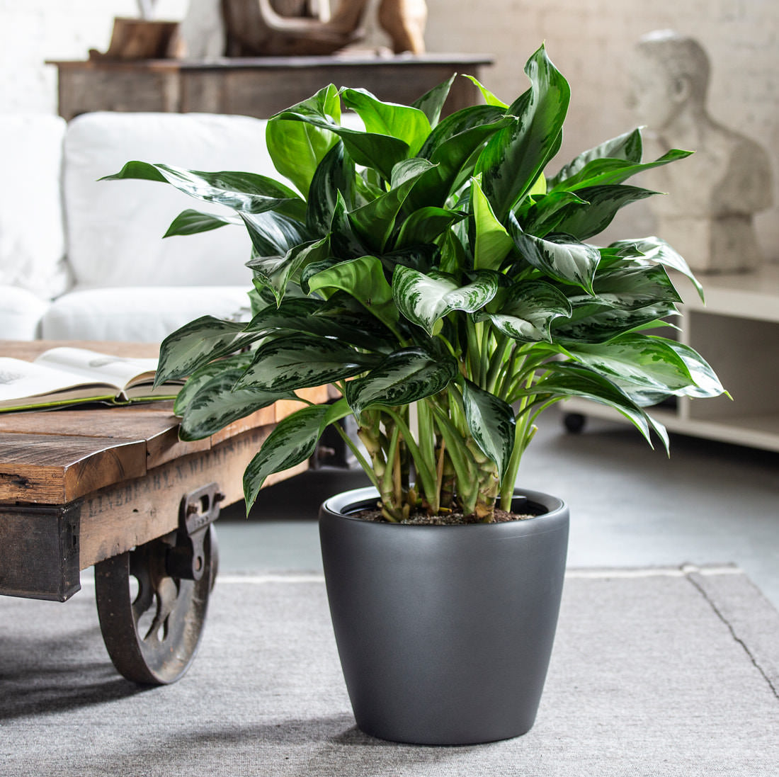 Aglaonema Plant | Round Classico Charcoal Planter | My City Plants