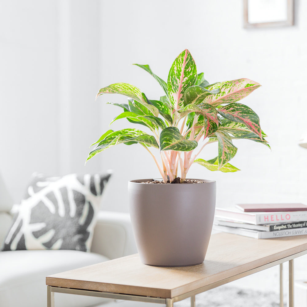 Aglaonema Red Plant Potted In Lechuza Classico Trend Nutmeg Planter - Shop Online - My City Plants