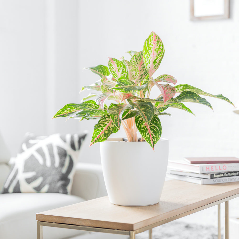 Aglaonema Red Plant Potted In Lechuza Classico Trend White Planter - Shop Online - My City Plants