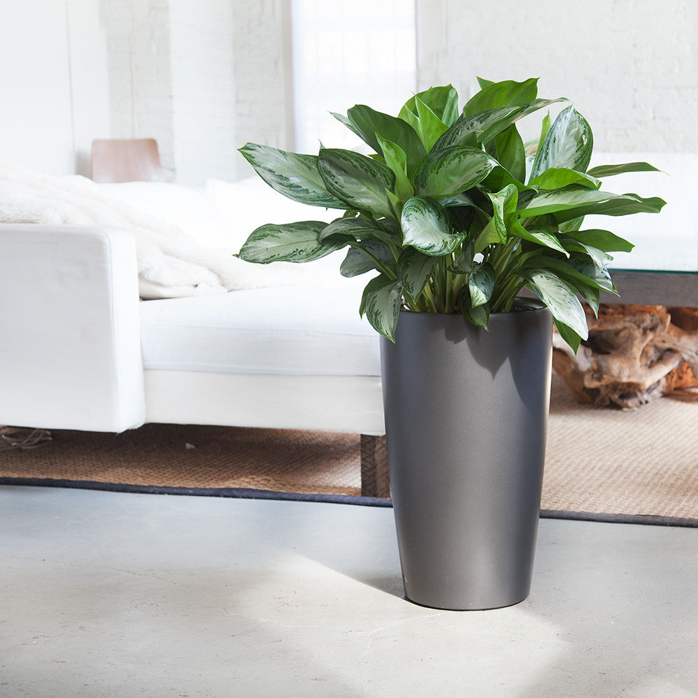 Aglaonema Rondo Charcoal Metallic