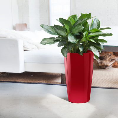 Aglaonema Rondo Red