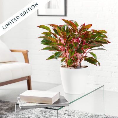 Aglaonema Rouge Potted In Lechuza Classico White Planter - Shop Online - My City Plants