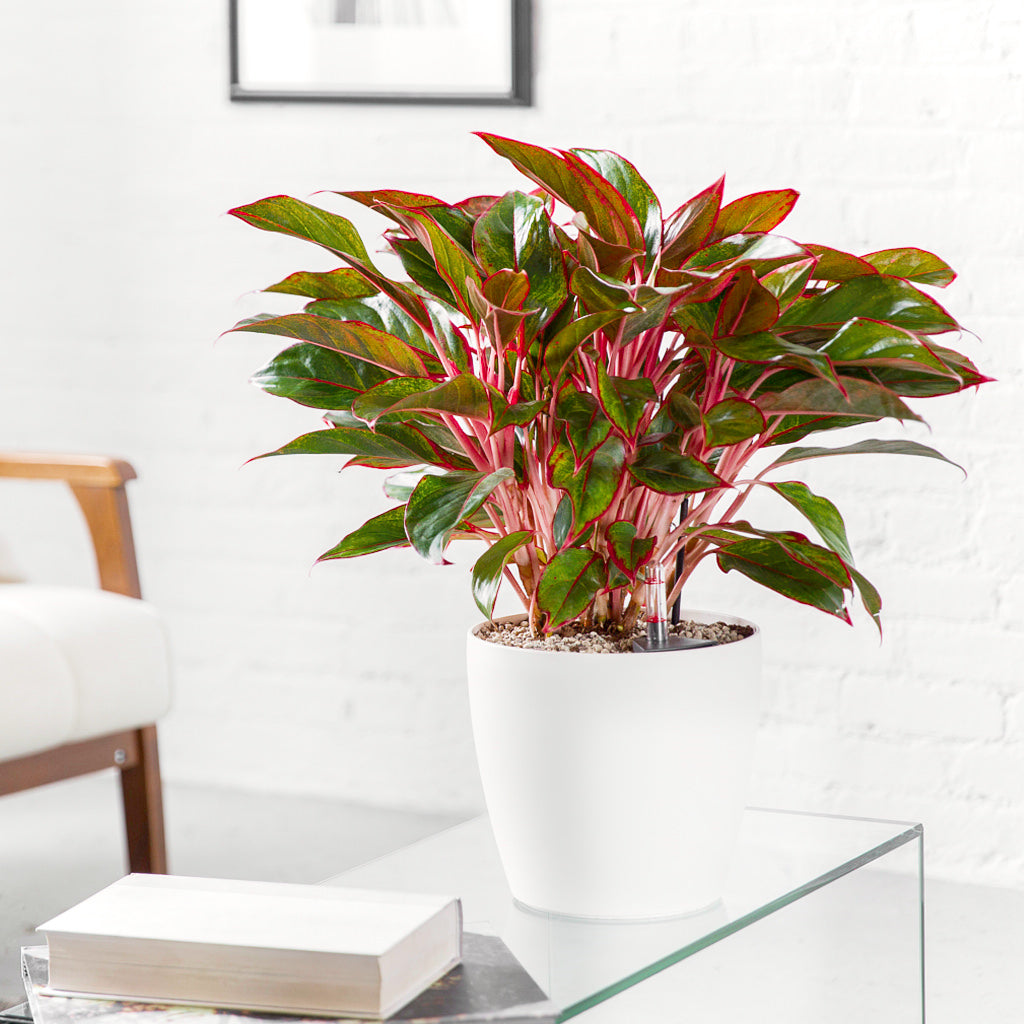 Aglaonema Rouge Classico Mini Trend - White