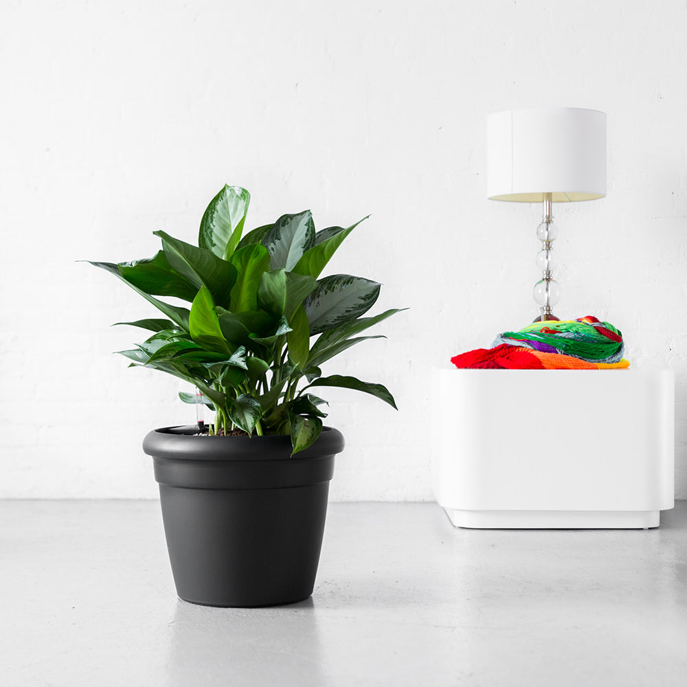 Aglaonema Plant In Lechuza Rustico Graphite Black Planter - Shop Online - My City Plants