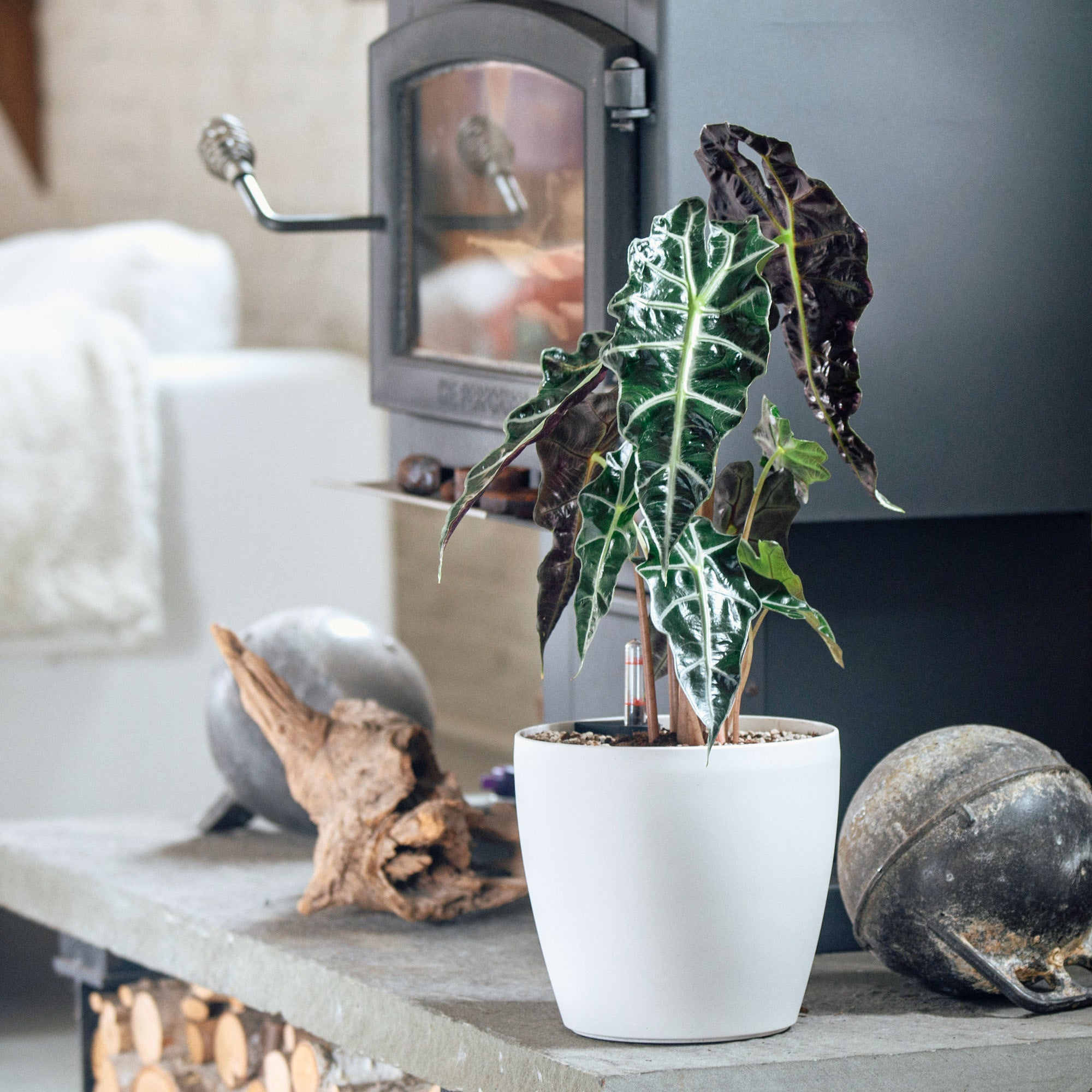 Alocasia potted in Lechuza Classico Trend mini white planter - My City Plants