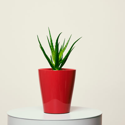Aloe Deltini Red