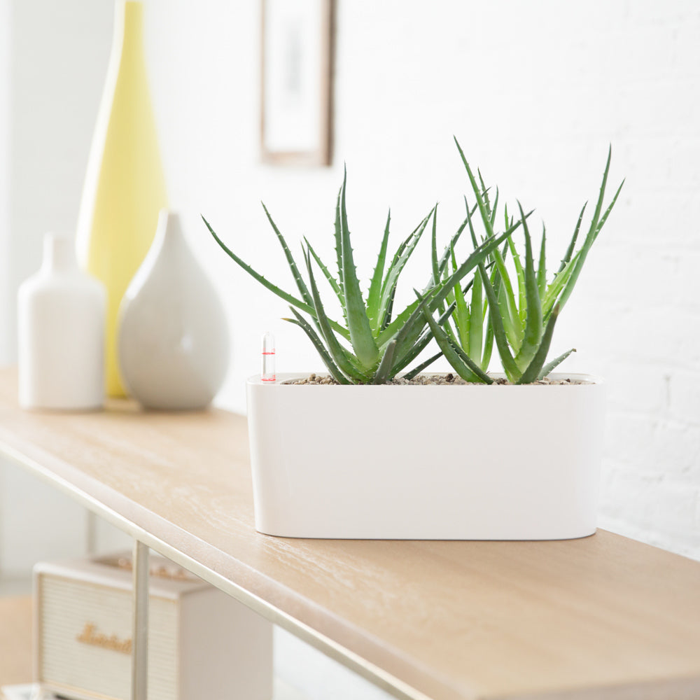 Aloe Potted In Lechuza Windowsill Mini White Planter - Shop Online - My City Plants