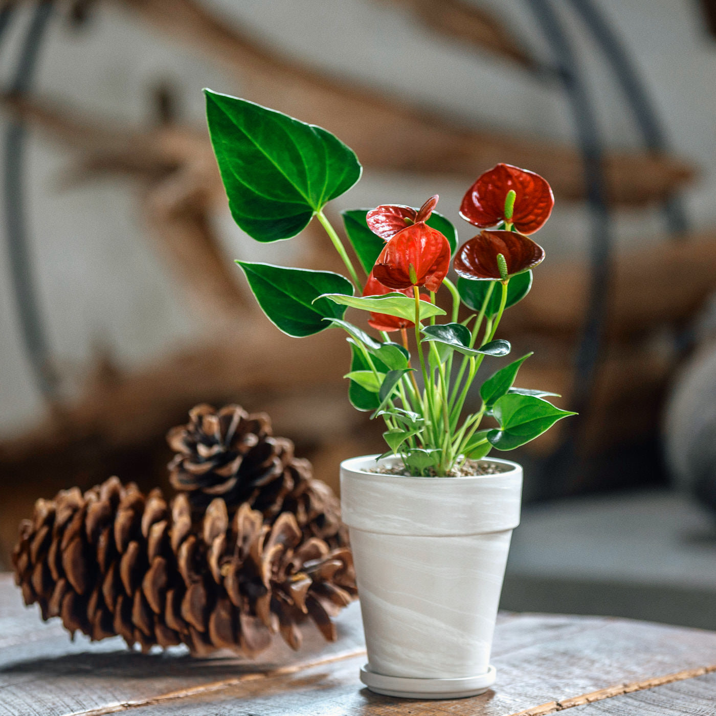 "Anthurium Plant In 5"" Clay Pot 