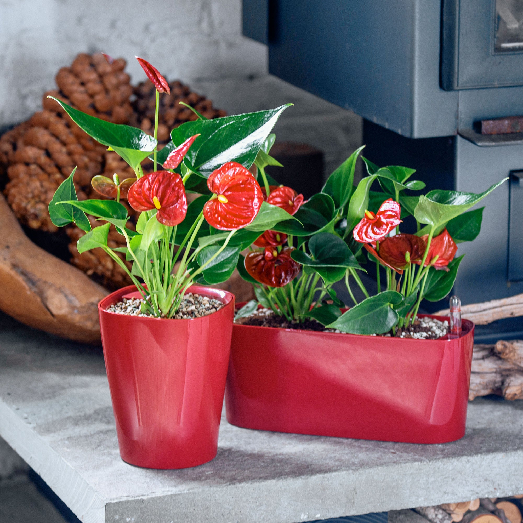 Anthurium plants potted in Lechuza self-watering red planters - My City Plants