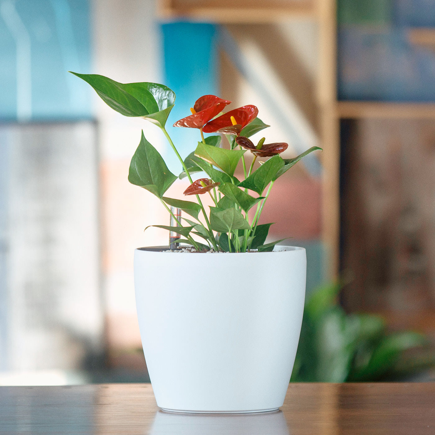 Anthurium Plant Potted In Classico Mini White Planter | My City Plants