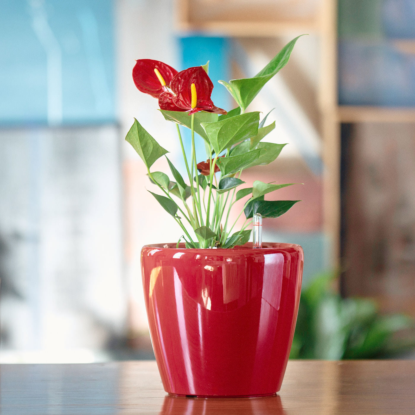 Anthurium Plant Potted In Lechuza Red Planter | My City Plants