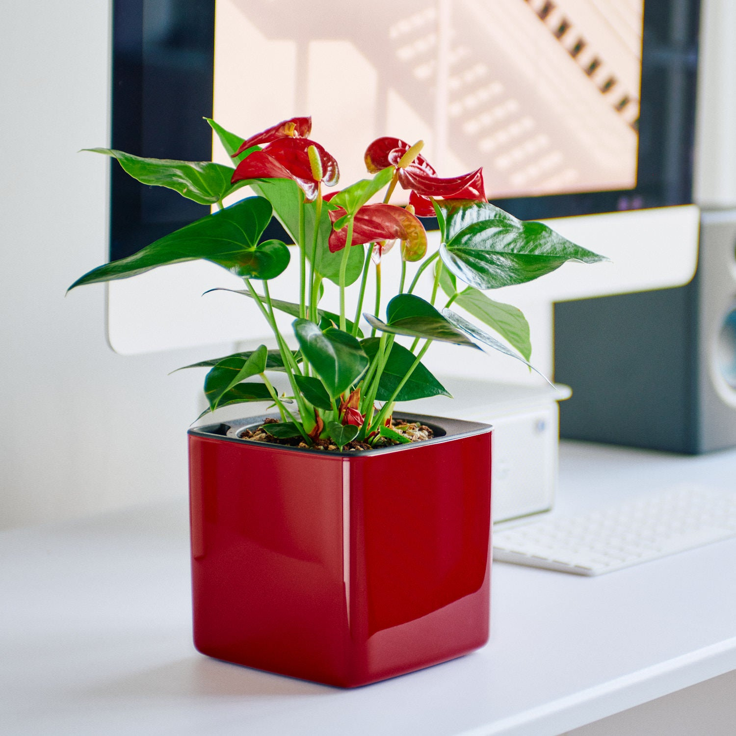 Anthurium In Lechuza Cube 14 Glossy Red Planter | My City Plants