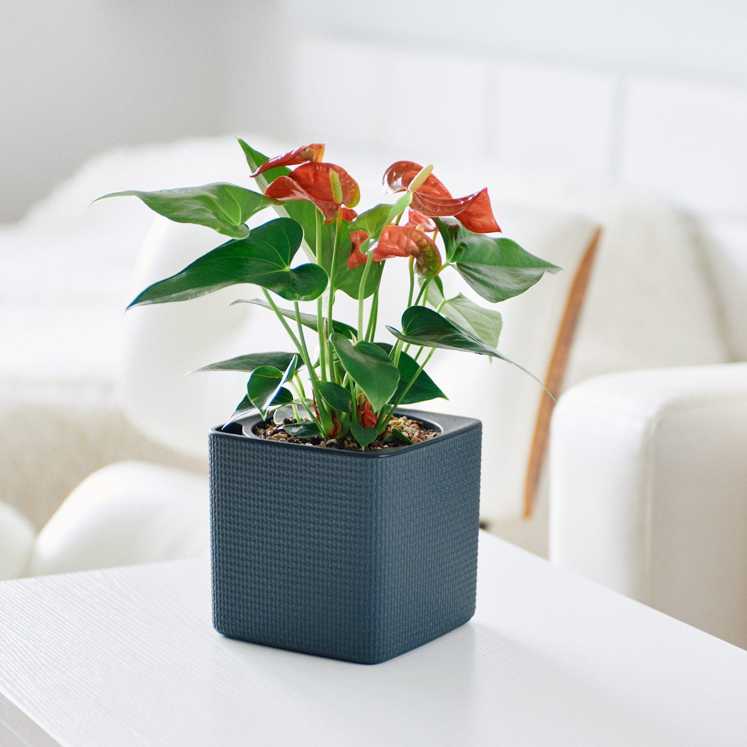 Anthurium Plant In Lechuza Cube 14 Slate Planter | My City Plants