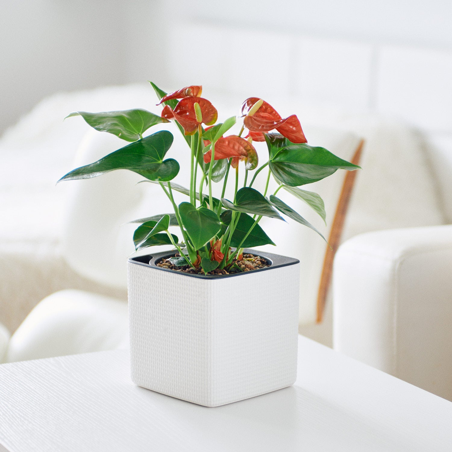 Anthurium Plant In Lechuza Cube 14 White Planter | My City Plants
