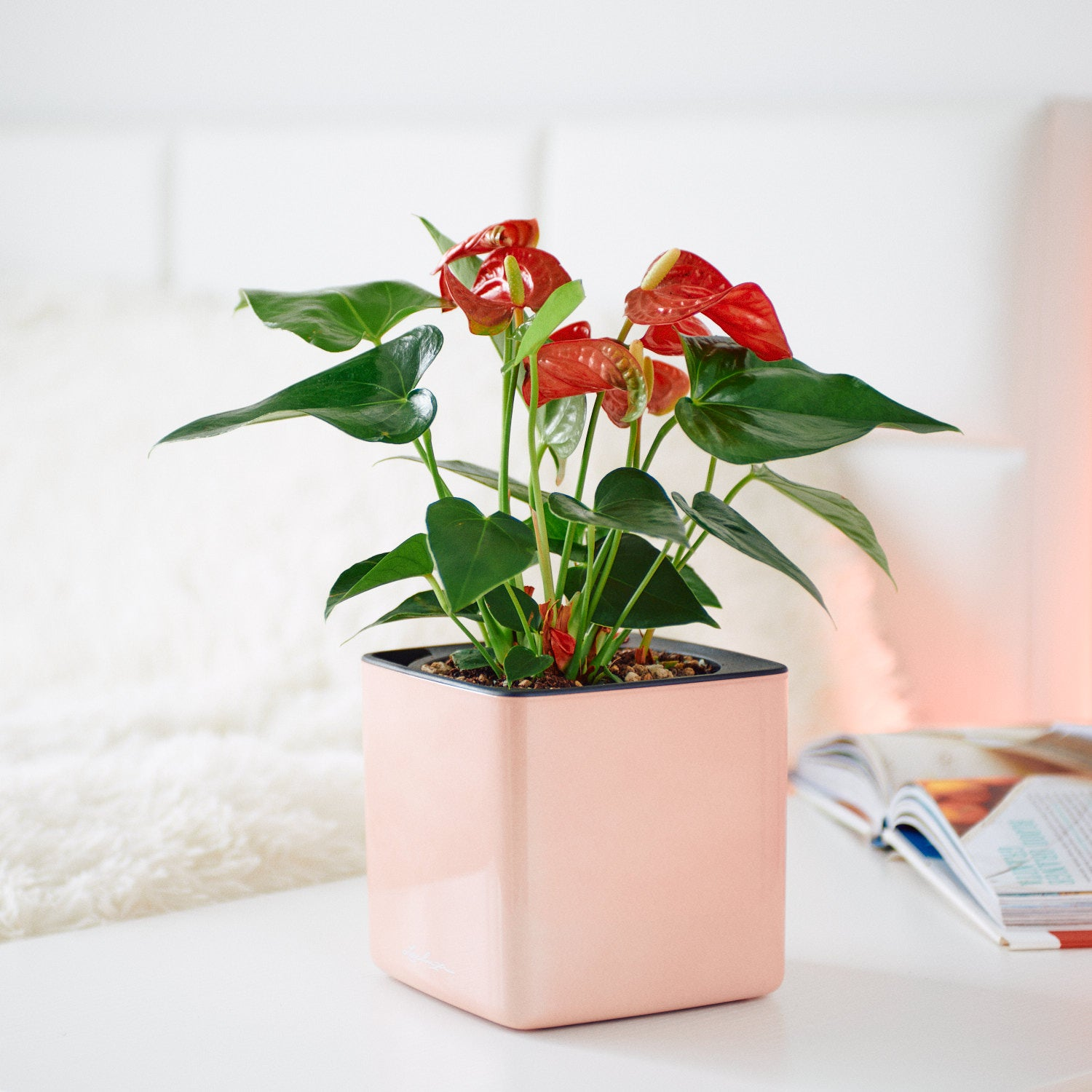 Anthurium Plant In Lechuza Cube 14 Glossy Cashmere Planter | My City Plants