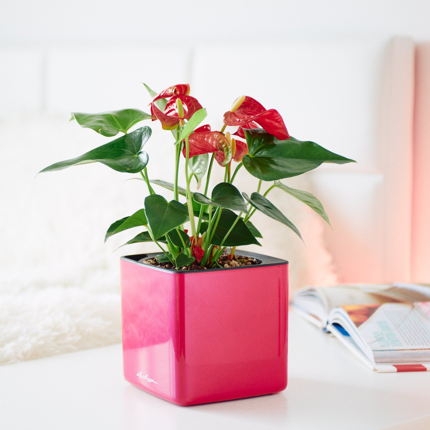 Anthurium Plant In Lechuza Cube 14 Cherry Pie Planter | My City Plants