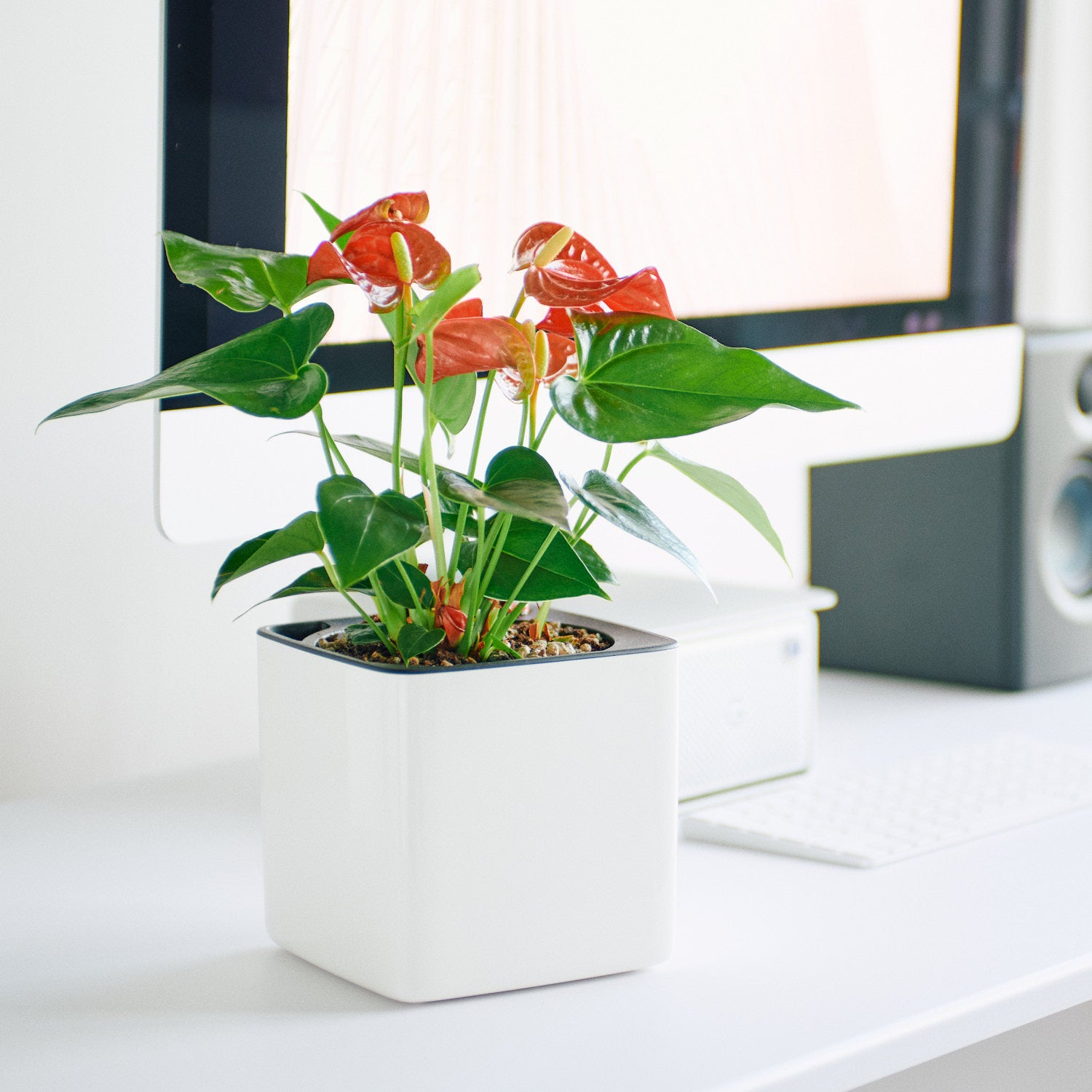 Anthurium In Lechuza Cube 14 Glossy White Planter | My City Plants