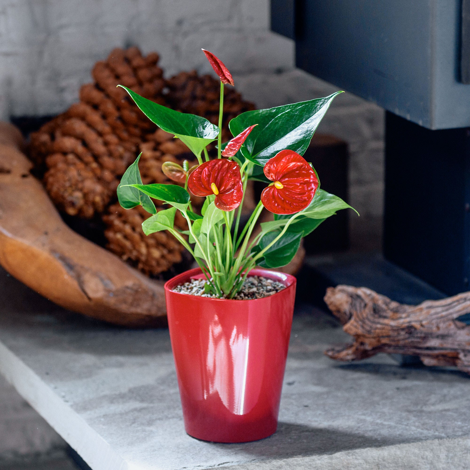 Anthurium potted in Lechuza Deltini red planter - My City Plants