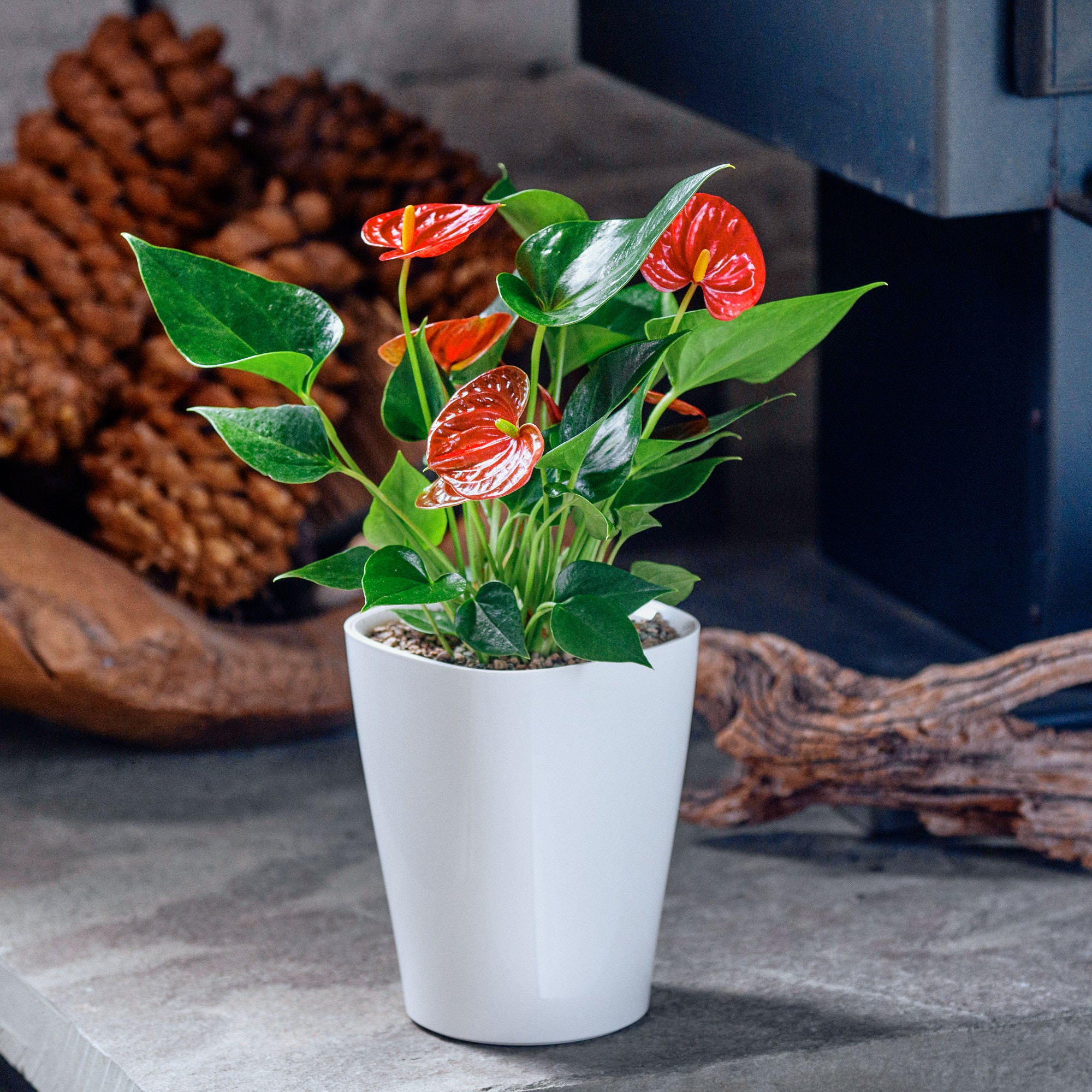 Anthurium potted in Lechuza Deltini white planter - My City Plants