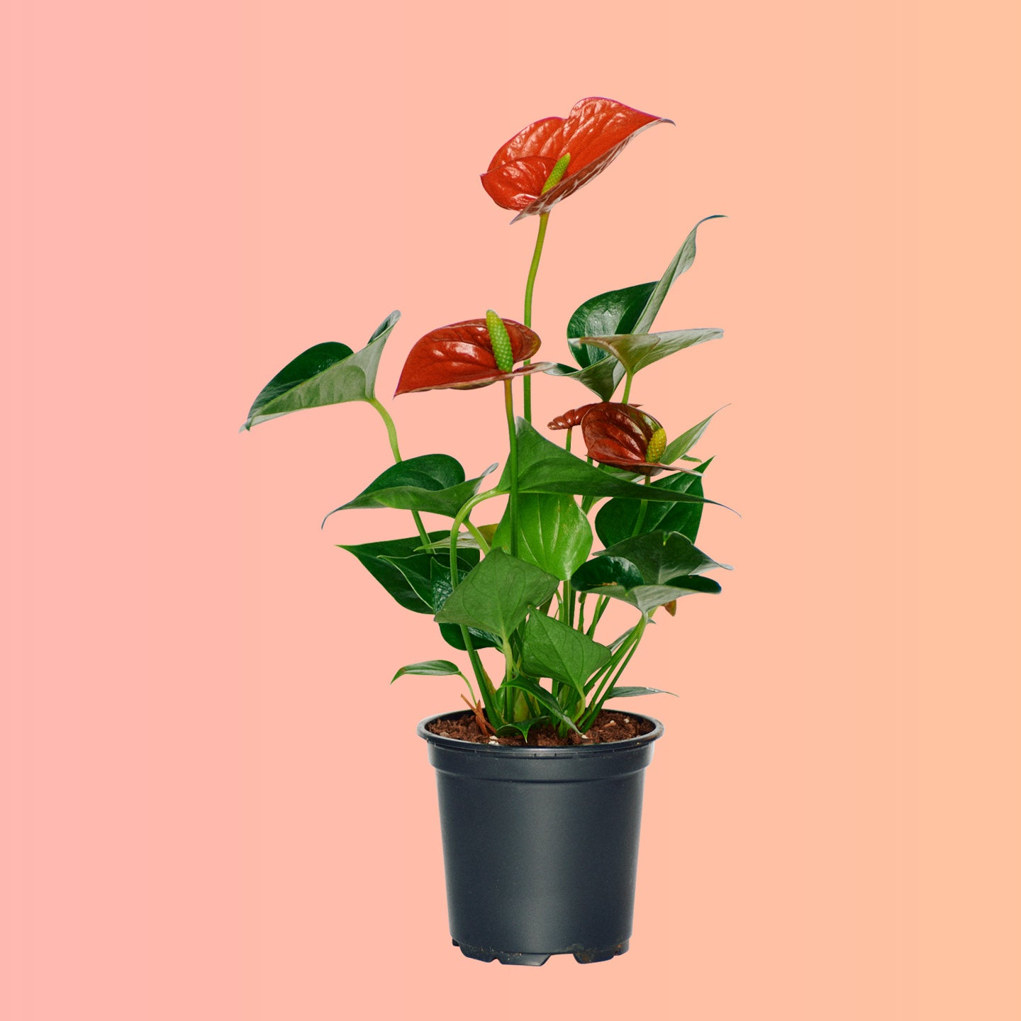 "Anthurium Plant In 4"" Nursery Pot 