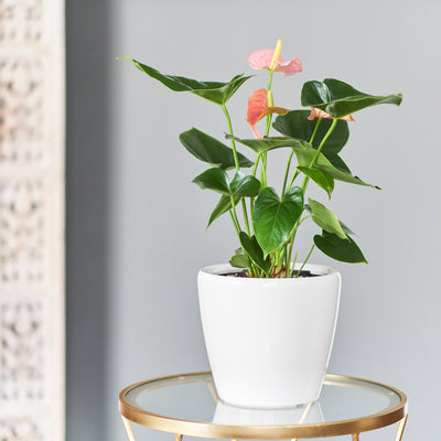 "Anthurium plant potted in Lechuza Classico 9"" white planter - My City Plants"