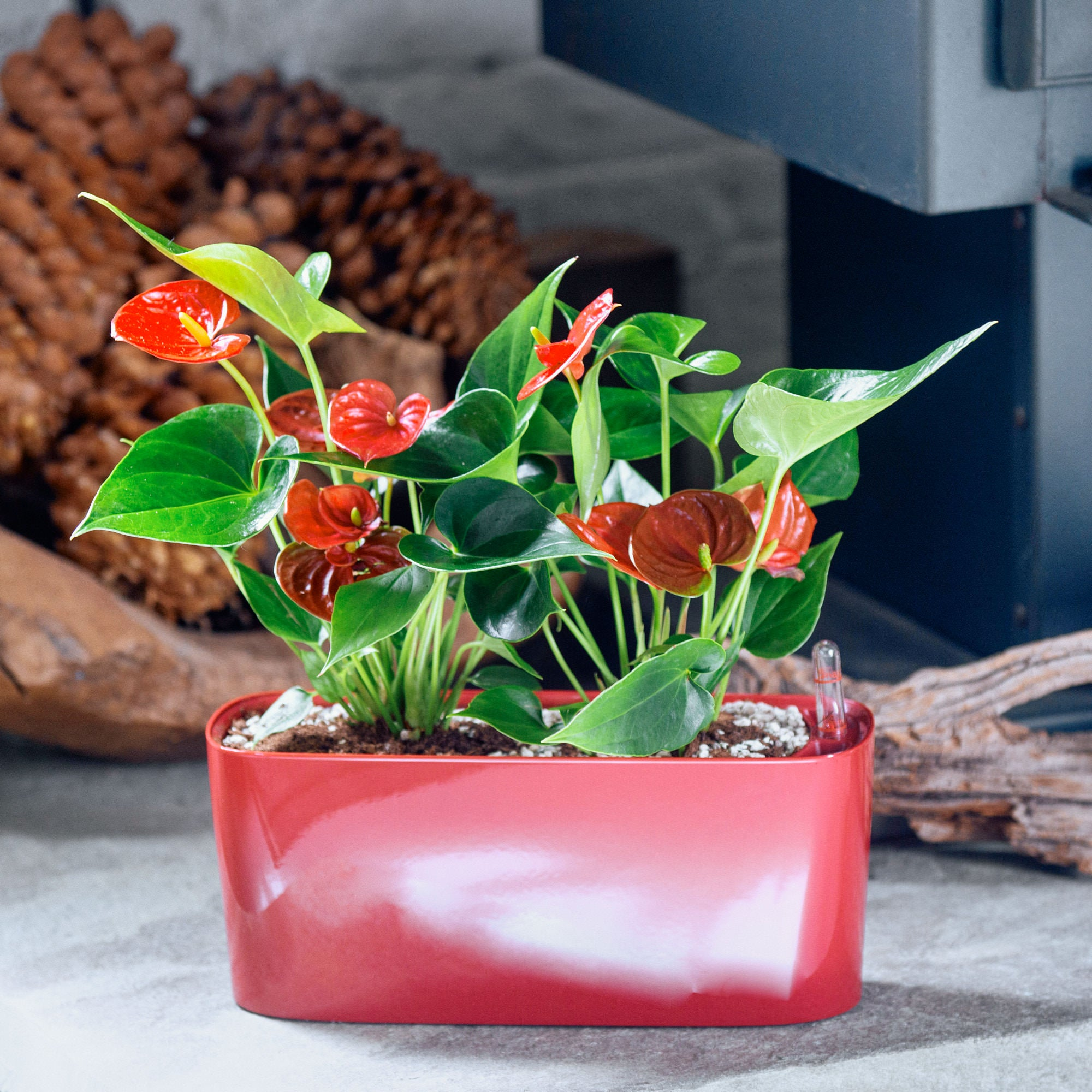 Anthurium potted in Lechuza windowsill mini red planter - My City Plants