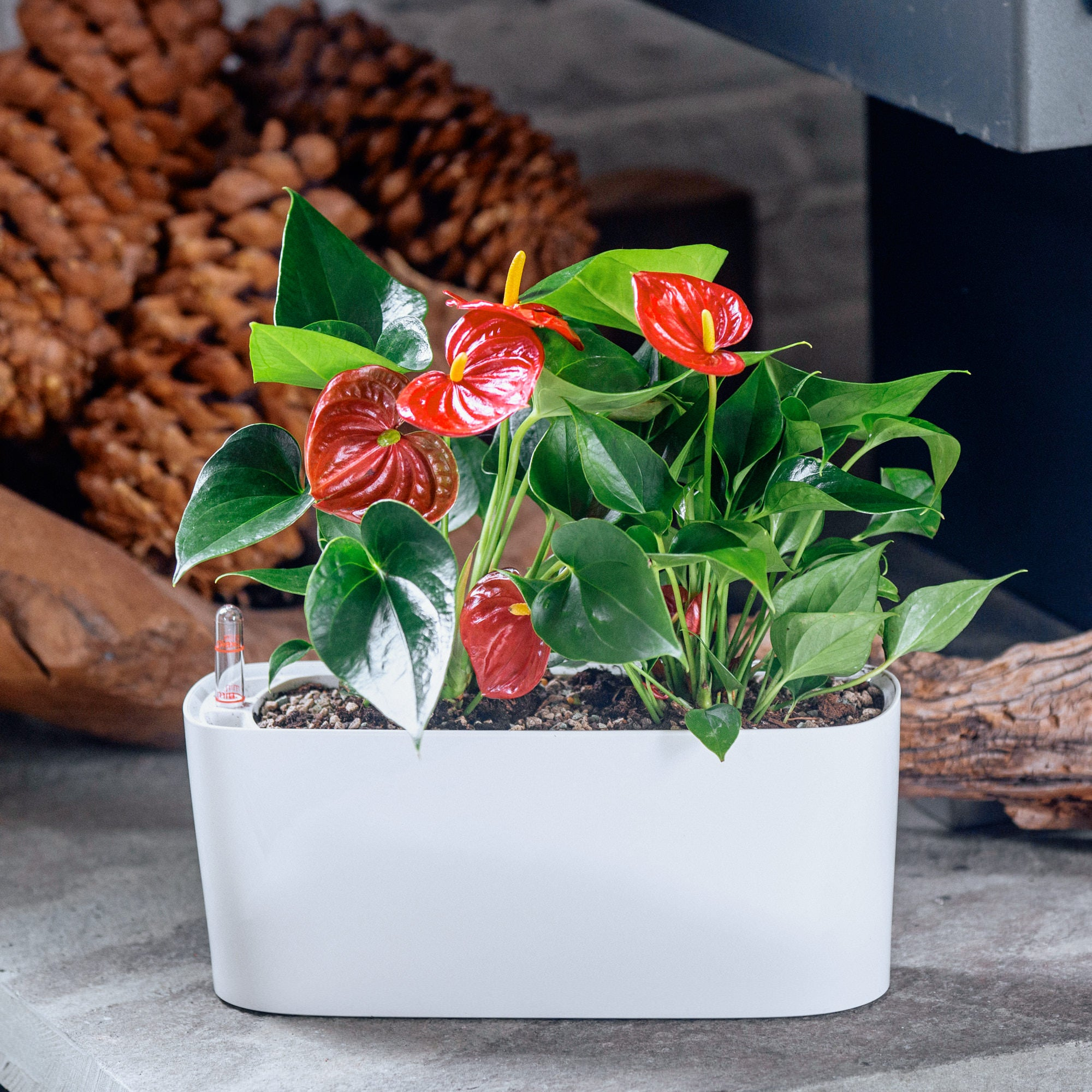 Anthurium potted in Lechuza windowsill mini white planter - My City Plants