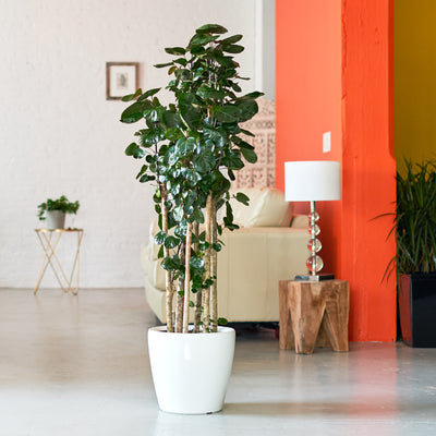 "Aralia Fabian plante potted in Lechuza Classico 14"" white planter - My City Plants"