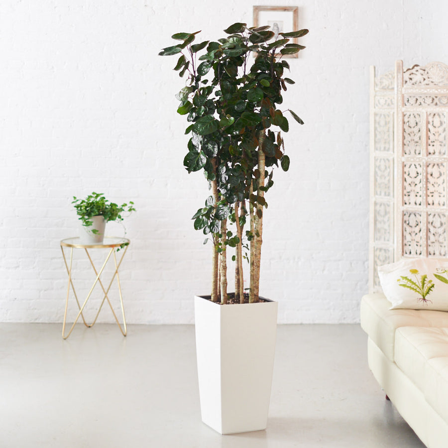 Large Indoor Plants 5\'-6\' Potted in Modern Planters